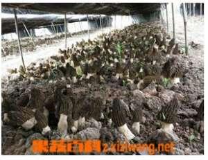 羊肚菌人工栽培新技术